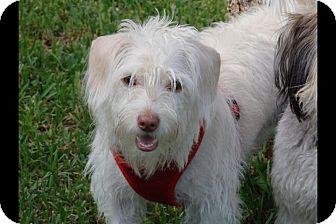 Maltese Mix Dog for adoption in Homestead, Florida - ChuChu
