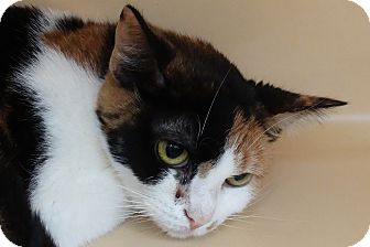 Domestic Shorthair Cat for adoption in Elyria, Ohio - Janice