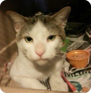 Turkish Van Cat for adoption in El Dorado Hills, California - Tommy