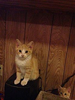 Domestic Shorthair Cat for adoption in Baton Rouge, Louisiana - Dakota