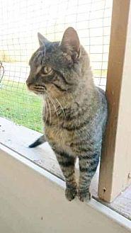 Domestic Shorthair Cat for adoption in Prestonsburg, Kentucky - posh