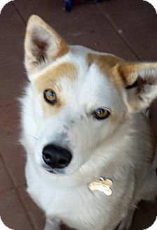 Cattle Dog Mix Dog for adoption in Jemez Springs, New Mexico - Phoebe