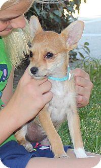 Shih Tzu/Chihuahua Mix Puppy for adoption in Ridgecrest, California - Monica