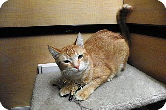 Domestic Shorthair Cat for adoption in Riverside, California - Courtney