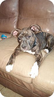 Pit Bull Terrier Mix Puppy for adoption in Las Vegas, Nevada - Biscuit