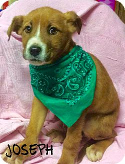 Labrador Retriever Mix Puppy for adoption in Cranford, New Jersey - Joseph