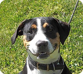 Greater Swiss Mountain Dog/Hound (Unknown Type) Mix Dog for adoption in Batavia, Ohio - Gracie Ann