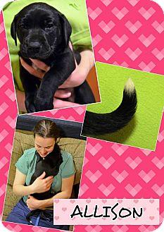 Labrador Retriever Mix Puppy for adoption in Salisbury, Massachusetts - Allison