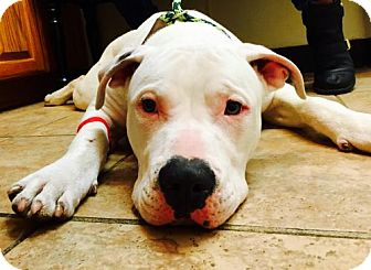American Pit Bull Terrier/Pit Bull Terrier Mix Dog for adoption in Houston, Texas - Thor
