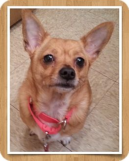 Chihuahua Dog for adoption in Holland, Ohio - Kay