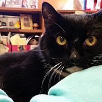 Adopt A Pet :: Suri - Oakland, NJ