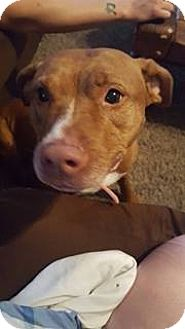 Pit Bull Terrier Dog for adoption in Fort Wayne, Indiana - Cinnamon