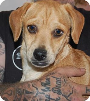 Pug/Beagle Mix Dog for adoption in Brooklyn, New York - Forrester