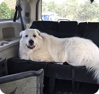 Great Pyrenees Dog for adoption in St. Charles, Illinois - Nobel