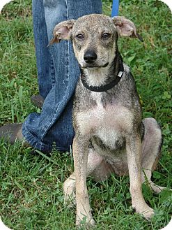 Italian Greyhound/Beagle Mix Puppy for adoption in Great Falls, Virginia - Buttercup