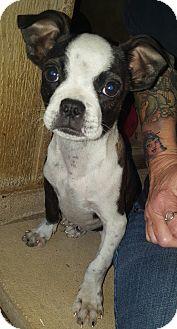Boston Terrier Mix Puppy for adoption in Westport, Connecticut - Bradley