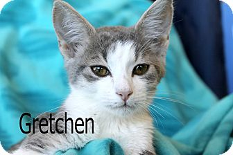 Domestic Shorthair Kitten for adoption in Wichita Falls, Texas - Gretchen
