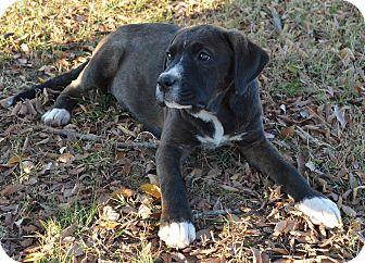 Labrador Retriever/Great Dane Mix Puppy for adoption in Westport, Connecticut - Candy