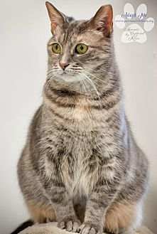 Domestic Shorthair Cat for adoption in Toledo, Ohio - PATTY