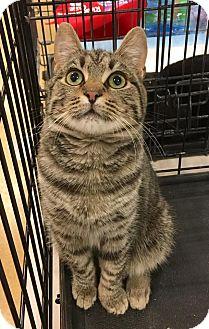 Domestic Shorthair Kitten for adoption in Smithtown, New York - Angelo