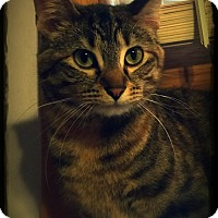 Domestic Shorthair Cat for adoption in Owatonna, Minnesota - Arikka