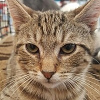 American Shorthair Cat for adoption in Lyons, Illinois - Jamison