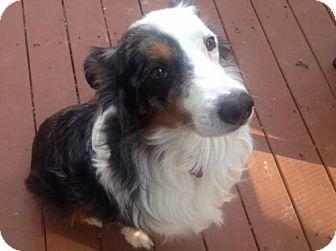 Australian Shepherd Dog for adoption in St. Louis, Missouri - Eliott 'Buddy'