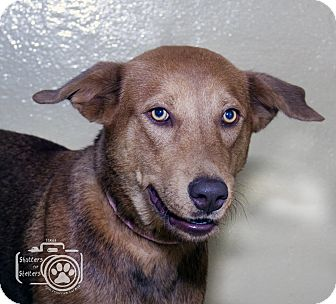 Shepherd (Unknown Type)/Siberian Husky Mix Dog for adoption in Divide, Colorado - Coco