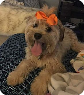 Yorkie, Yorkshire Terrier/Poodle (Miniature) Mix Puppy for adoption in San Diego, California - Momo