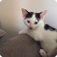 Adopt A Pet :: Moo Moo Kitty - Highland, IN