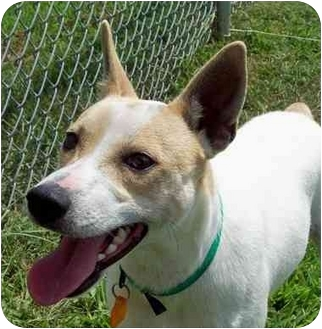 Rat Terrier Mix Dog for adoption in HARRISONVILLE, Missouri - MAX