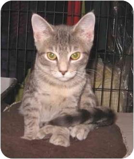 Domestic Shorthair Kitten for adoption in Colmar, Pennsylvania - Tiggey