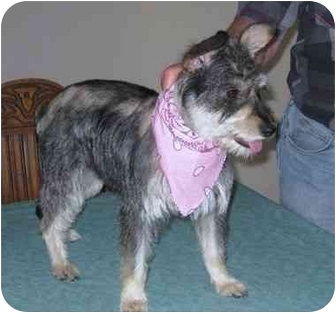 Schnauzer (Miniature)/Cairn Terrier Mix Dog for adoption in Naperville, Illinois - Ellie-Adopted