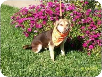 Beagle/Terrier (Unknown Type, Small) Mix Puppy for adoption in Castro Valley, California - Buddy