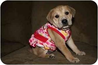 Labrador Retriever/American Pit Bull Terrier Mix Puppy for adoption in Reisterstown, Maryland - Stella