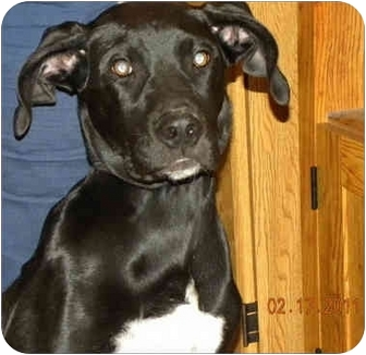 Great Dane/Catahoula Leopard Dog Mix Puppy for adoption in Springfield, Illinois - Gracie