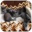 Photo 1 - Russian Blue Kitten for adoption in North Wilkesboro, North Carolina - Pete
