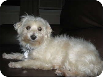 Maltese Dog for adoption in Ft. Collins, Colorado - Kinley