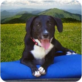 Labrador Retriever/Border Collie Mix Dog for adoption in Studio City, California - LEXIE