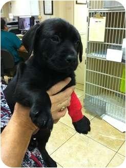 Labrador Retriever Mix Puppy for adoption in Dallas, Texas - Dasher