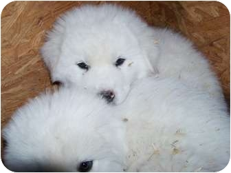 Great Pyrenees Puppy for adoption in Oklahoma City, Oklahoma - Anna -Adopted