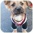 Photo 1 - Border Terrier Mix Puppy for adoption in Santa Monica, California - Chester