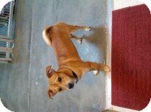 Corgi/Terrier (Unknown Type, Medium) Mix Dog for adoption in Alliance, Nebraska - Lucas