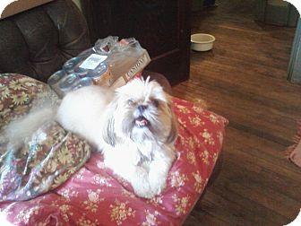 Pekingese/Chihuahua Mix Dog for adoption in Berlin, Wisconsin - Pixel