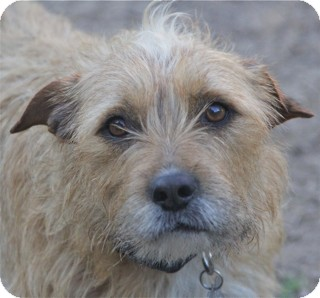 Terrier (Unknown Type, Medium) Mix Dog for adoption in Norwalk, Connecticut - Cici - read her story -
