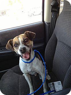 Jack Russell Terrier/Beagle Mix Dog for adoption in Ogden, Utah - Jack