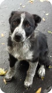 Australian Shepherd Mix Dog for adoption in waterbury, Connecticut - Monica