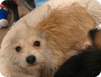 Yorkie, Yorkshire Terrier/Chihuahua Mix Dog for adoption in Phoenix, Arizona - Sherry - tiny wirey cuteness