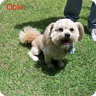 Shih Tzu Mix Dog for adoption in Slidell, Louisiana - Obi