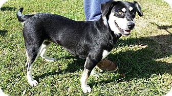 Beagle/Husky Mix Dog for adoption in Jacksboro, Tennessee - Pearle